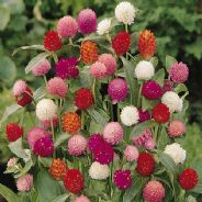 Gomphrena Qis Mixed - 30 seeds